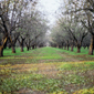 Almond Grove #2, Arbuckle